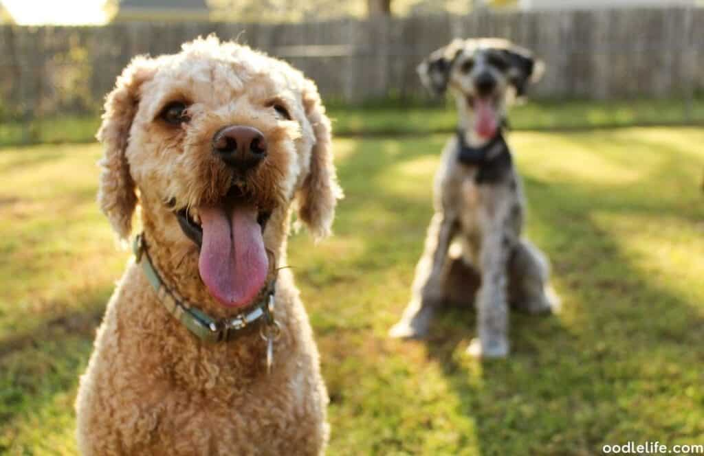 cavapoo two dogs