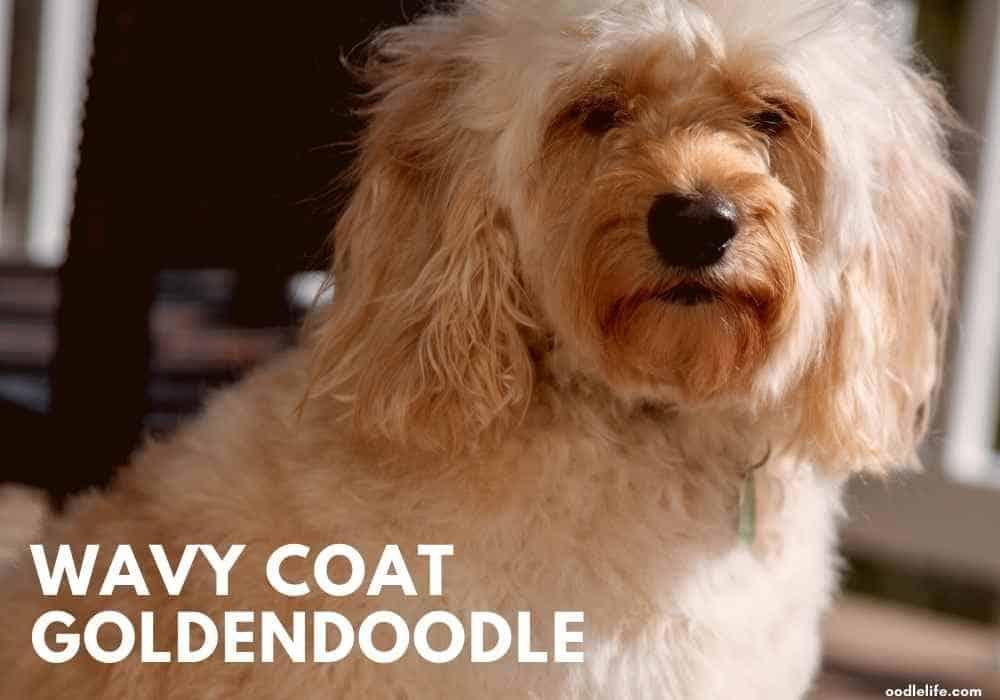 a wavy coat Goldendoodle