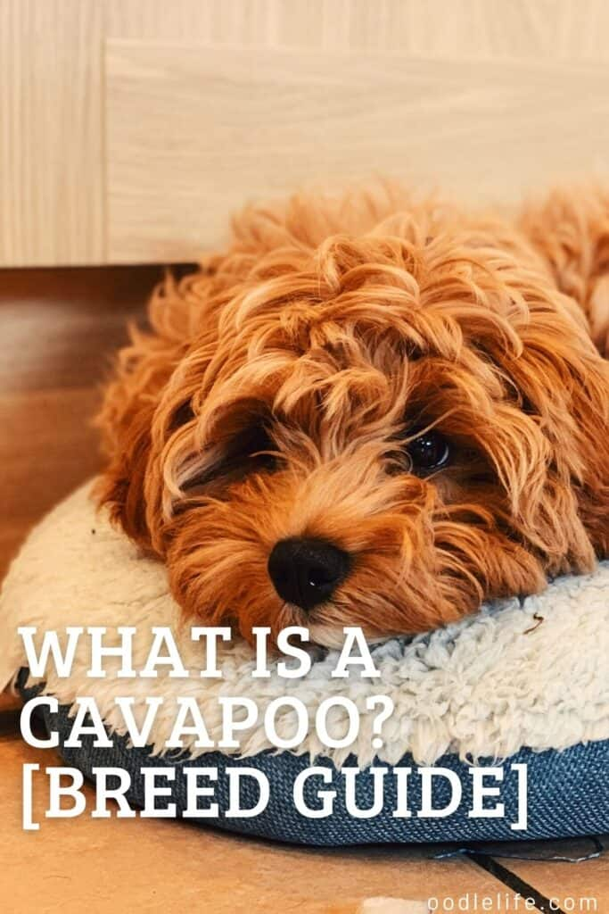 what is a cavapoo