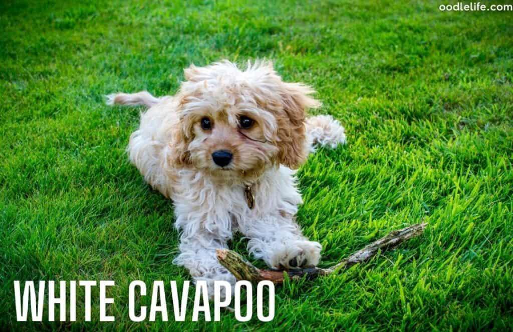 white coat cavapoo