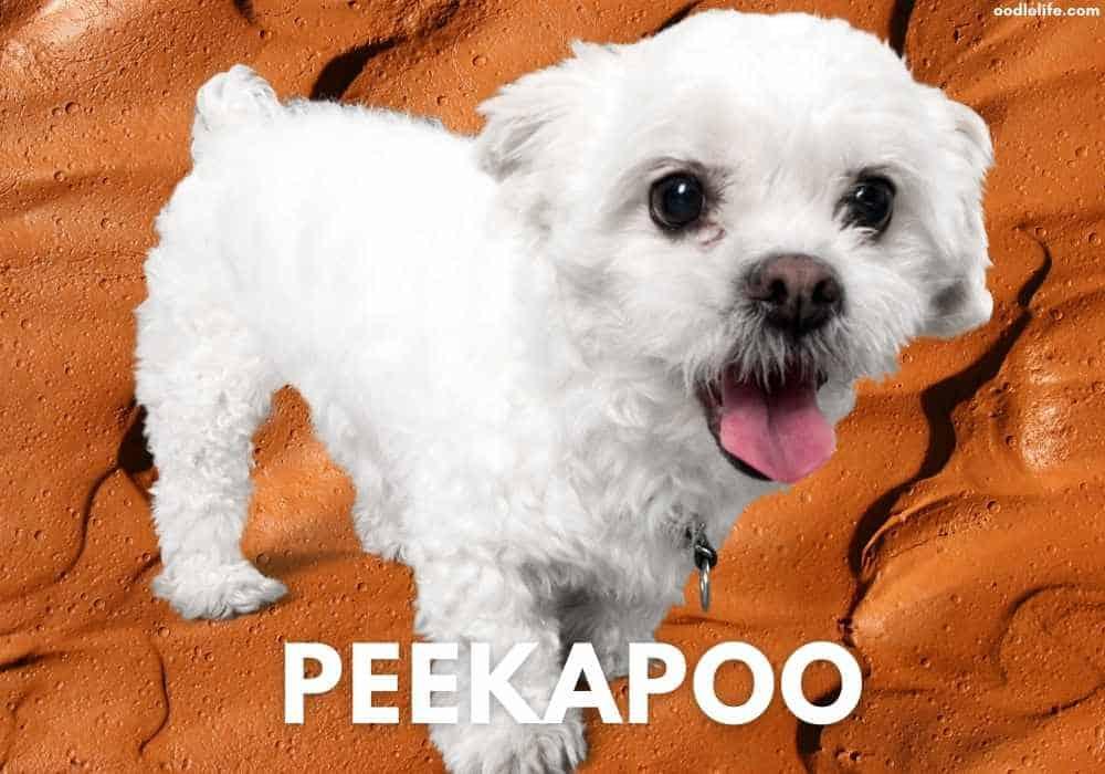 Peekapoo white coat