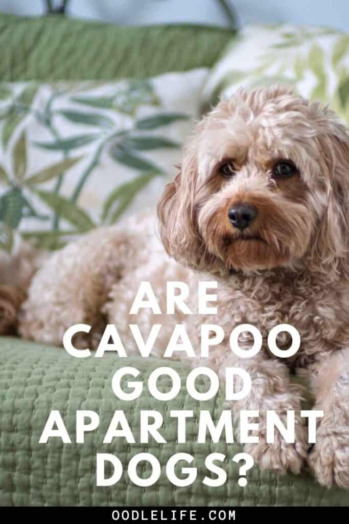 are cavapoos good apartment dogs