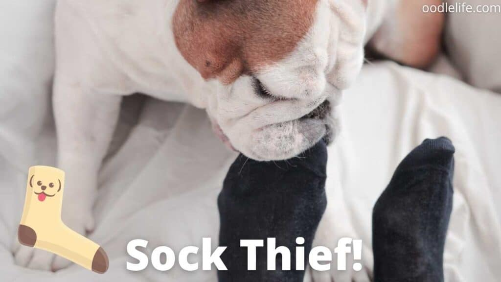 dog trying to steal a sock