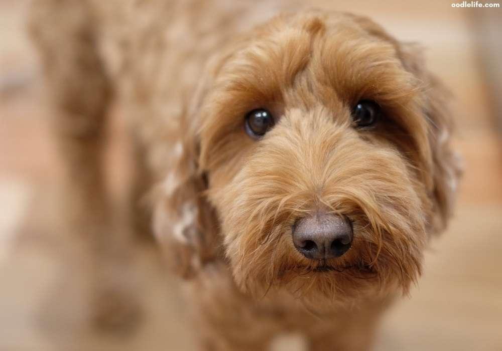 labradoodle puppy eyes