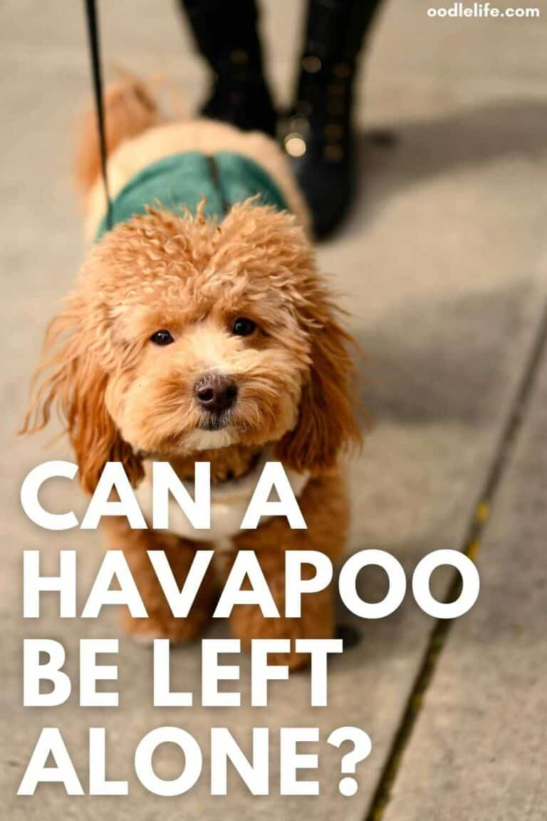 Can A Havapoo be Left Alone?