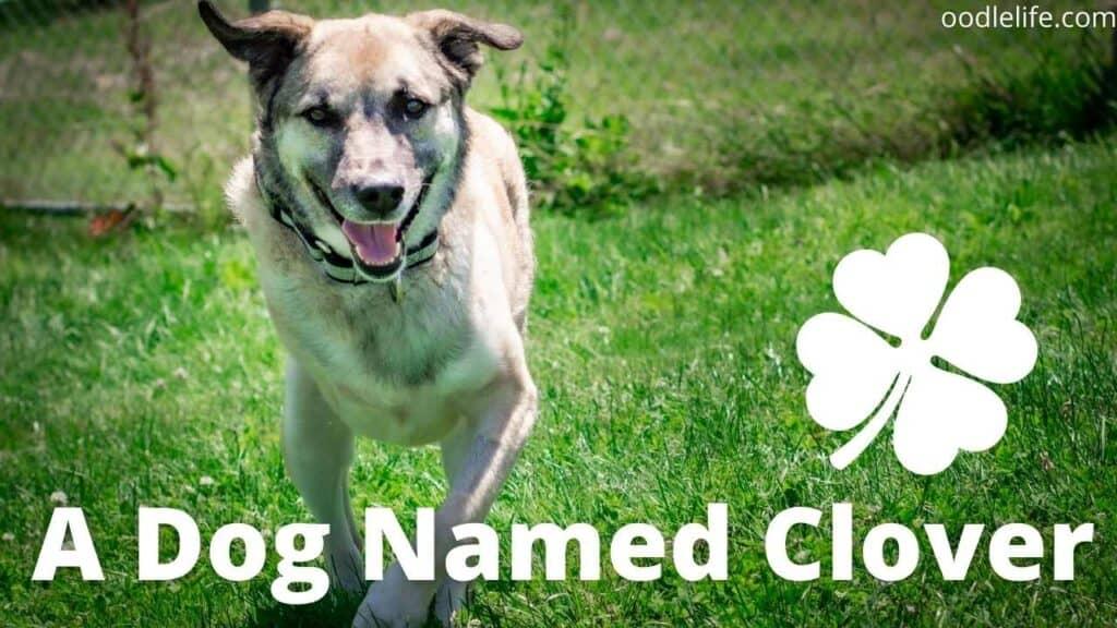 three leg dog name irish