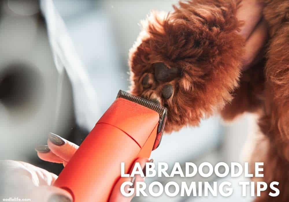labaradoodle grooming ideas and tips