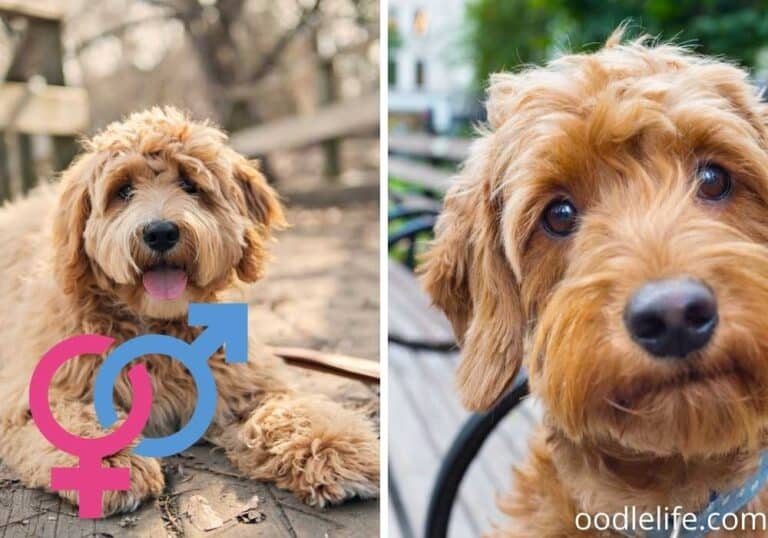 33 Best Goldendoodle Gifts (for both Dog and Goldendoodle Parent)