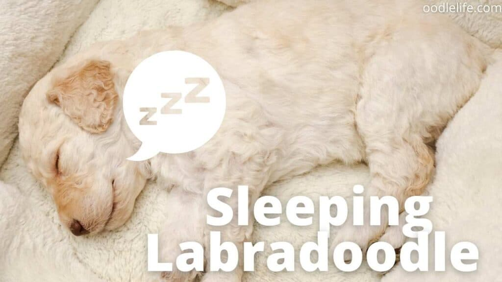 a young Labradoodle puppy sleeps