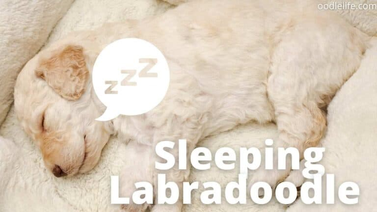 How Many Hours do Labradoodles Sleep? [Puppy Vs Adult]
