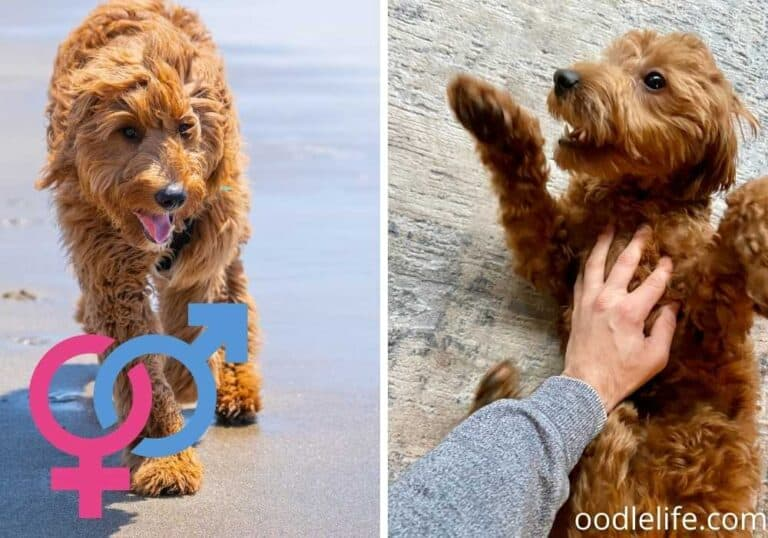 Male vs Female Goldendoodles – Which is better