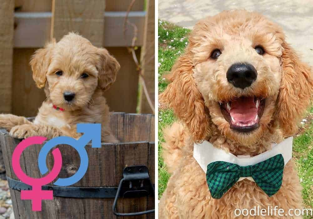 goldendoodle male and female smiling