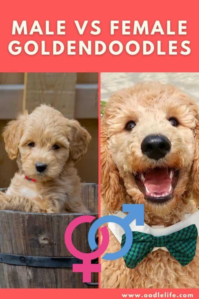 male vs female goldendoodles