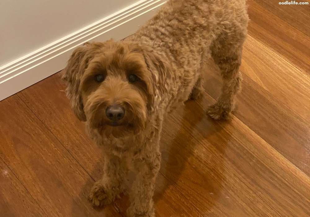 mini labradoodle after haircut