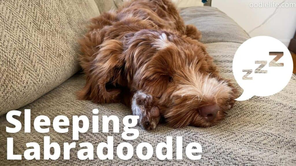 a cute labradoodle sleeping on a couch
