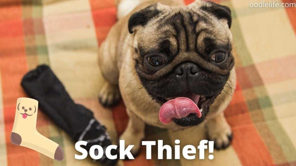 a sneaky pug sock thief