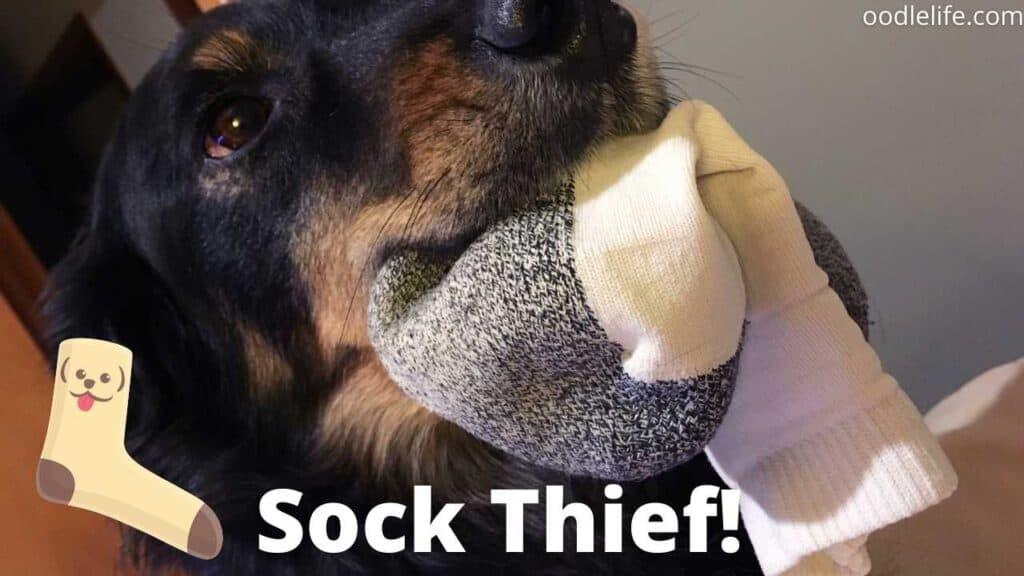 up close dog eating sock