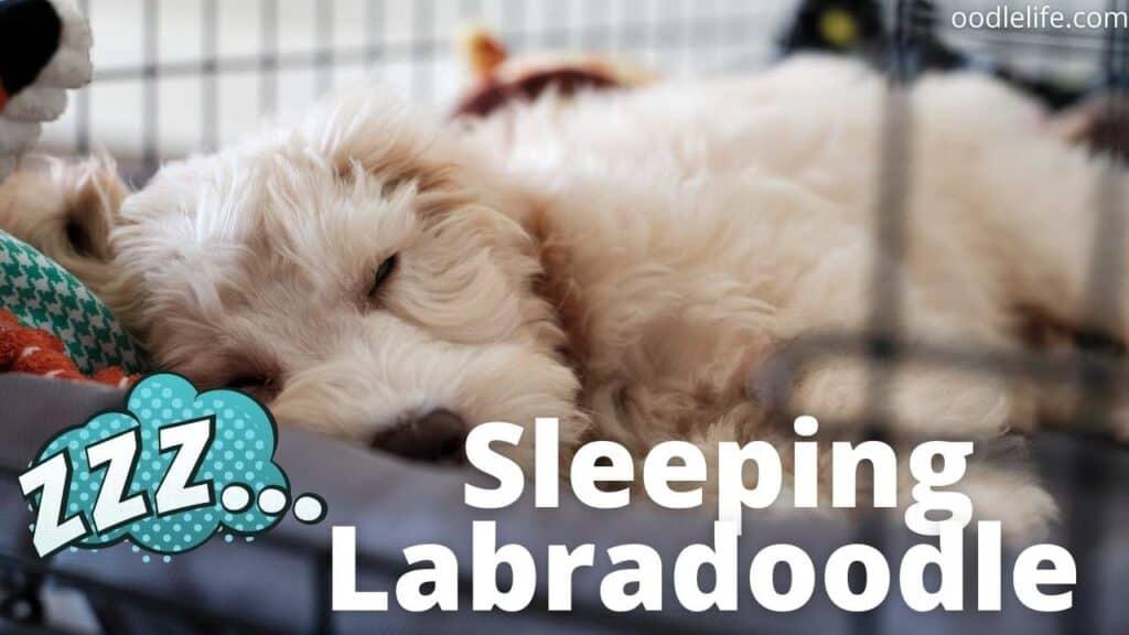 a sleeping white labradoodle