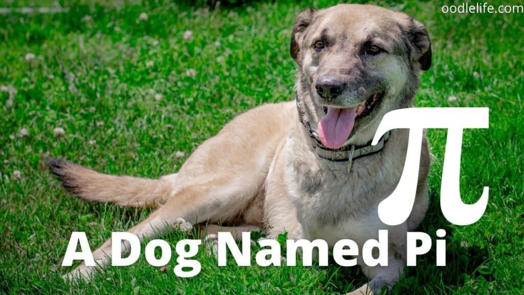 a three legged dog named pi