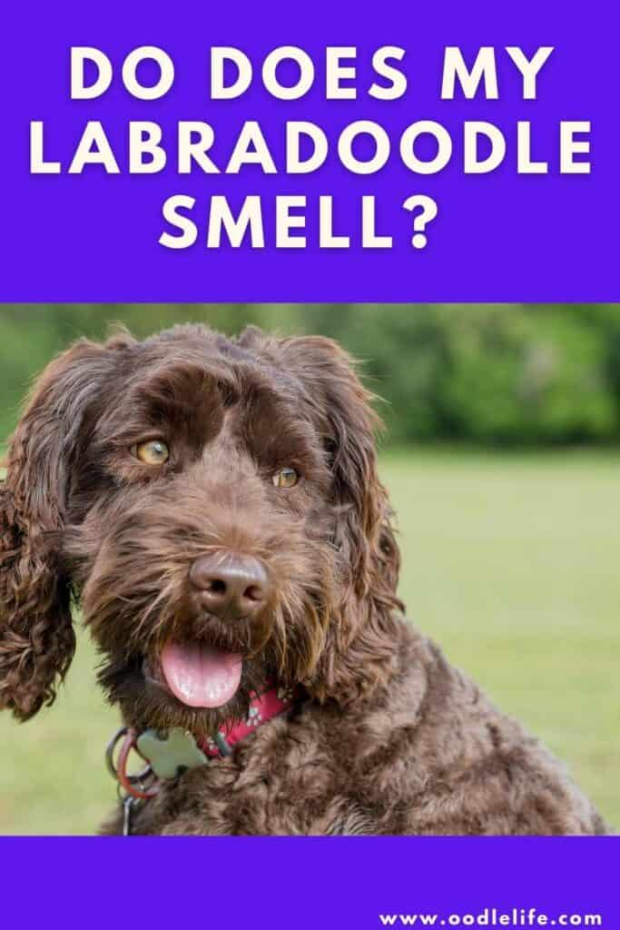 why does my labradoodle smell