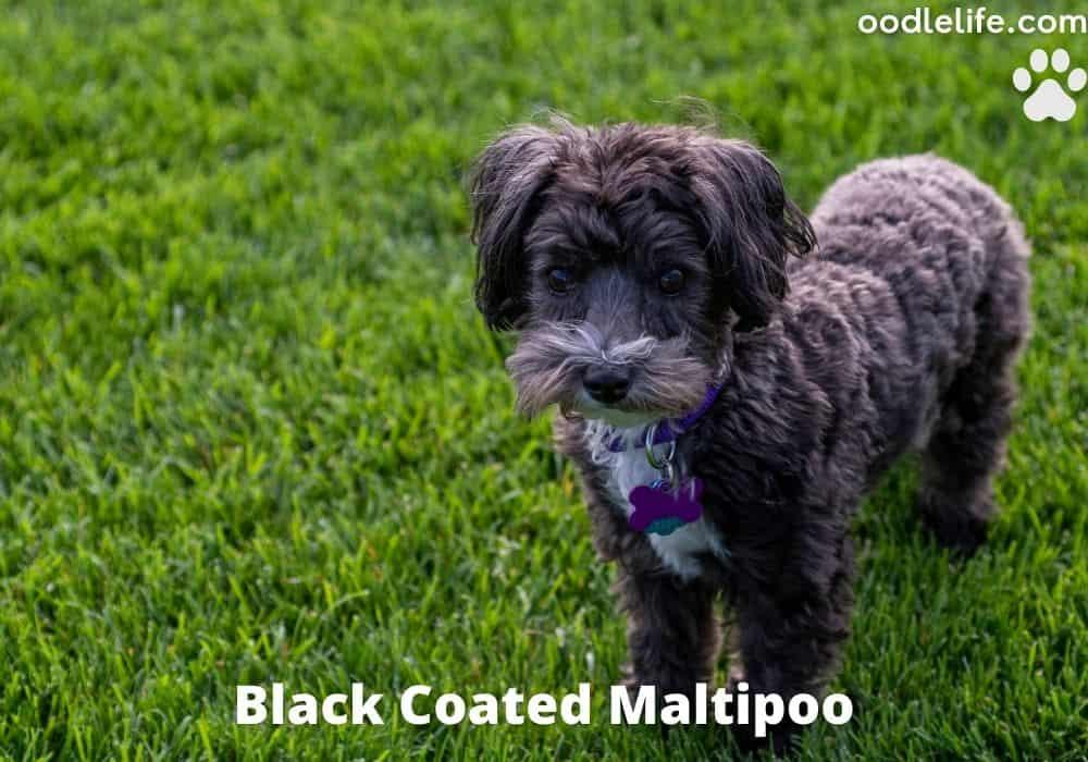 all black coated maltipoo