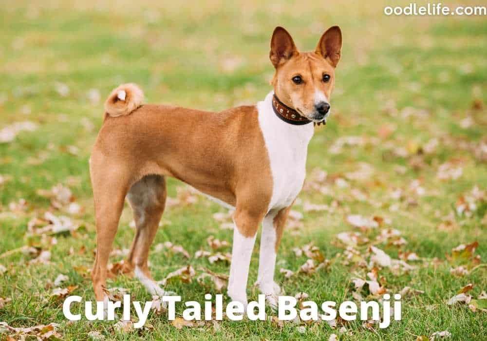curly tailed basenji