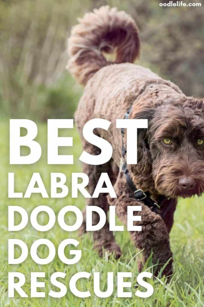 best labradoodle rescues