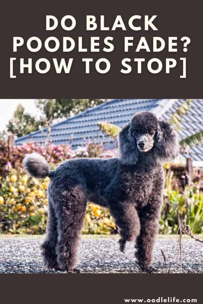 do black poodles fade