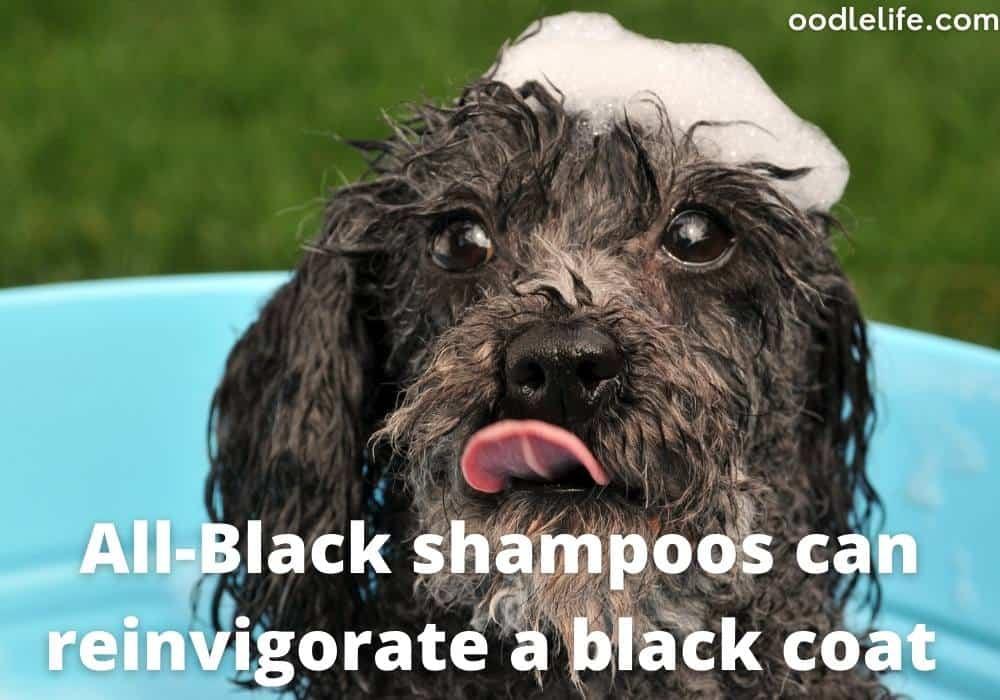 Black shampoo for poodle