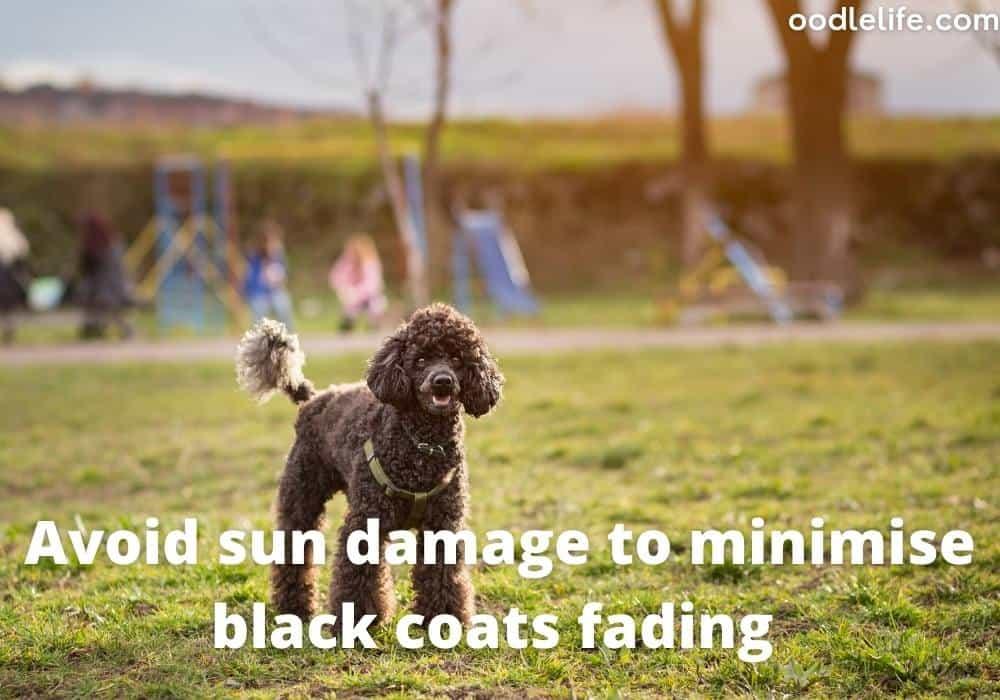 sun damage poodle coat