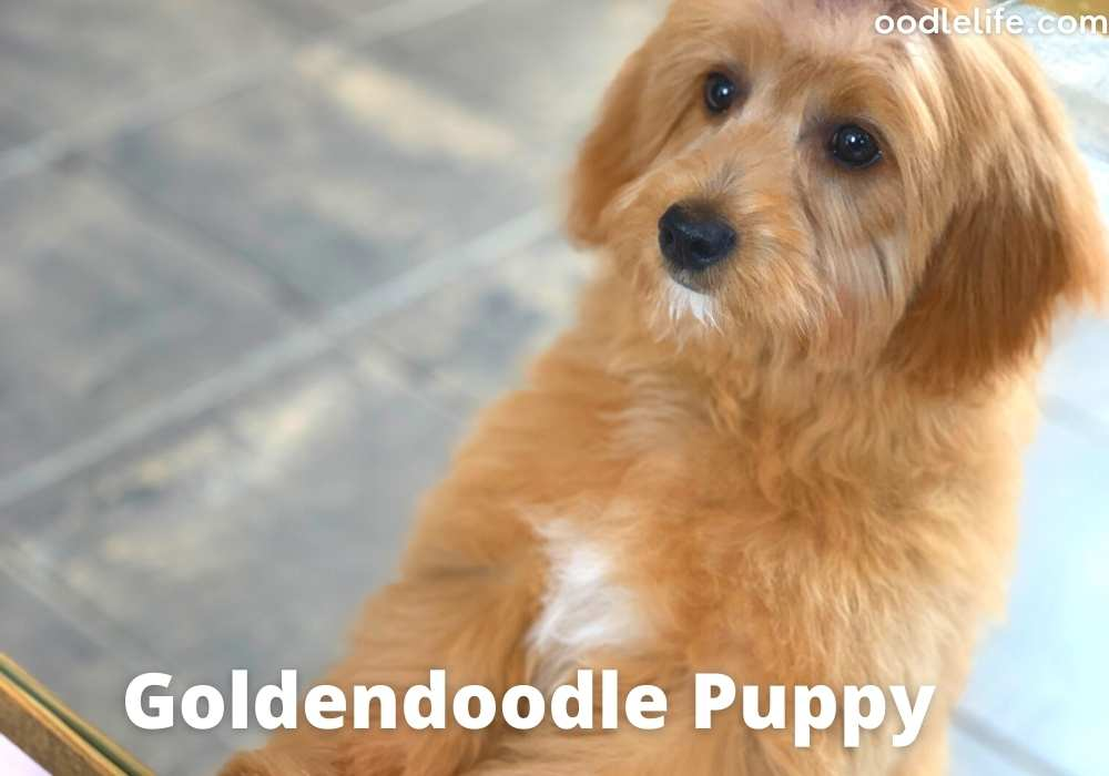 Goldendoodle puppy looks upwards with cute eyes