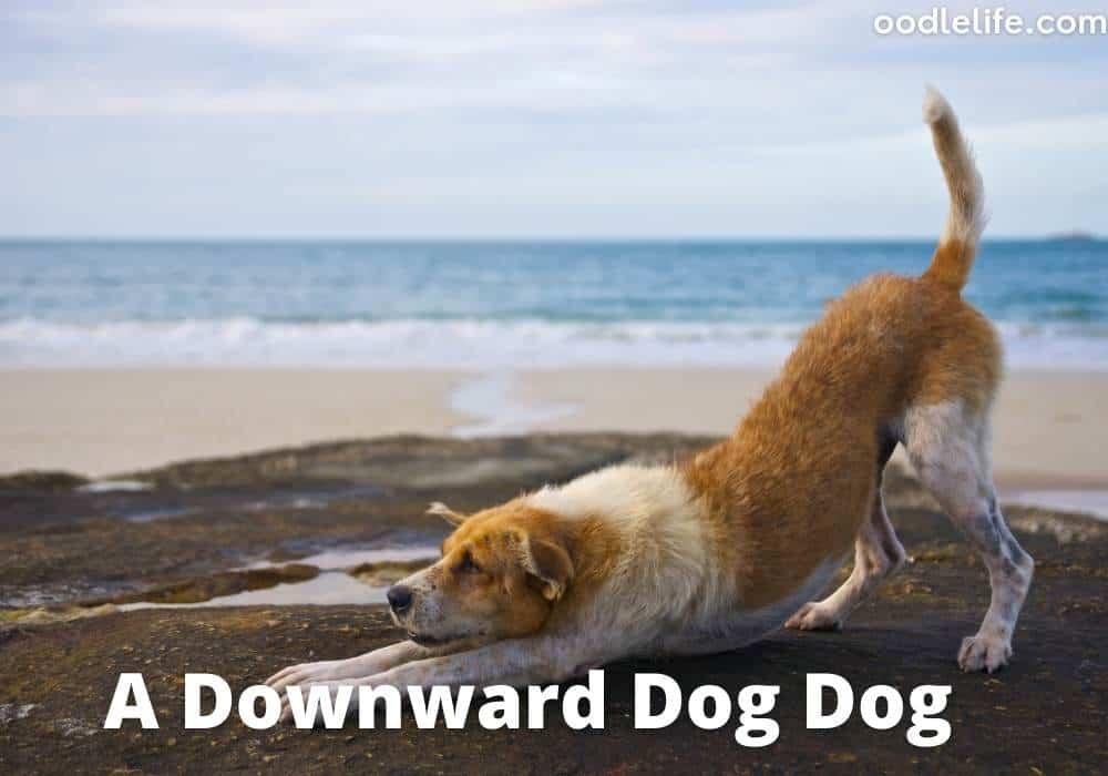 a downward facing dog yoga pose actual dog