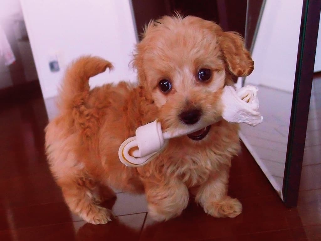 doxiepoo puppy