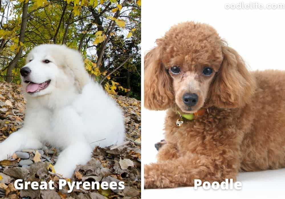 Great Pyrenees poodle mix
