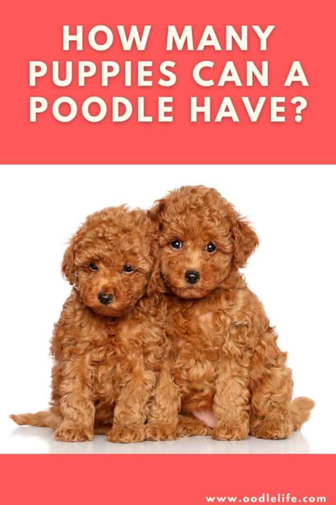 how many puppies can a poodle have