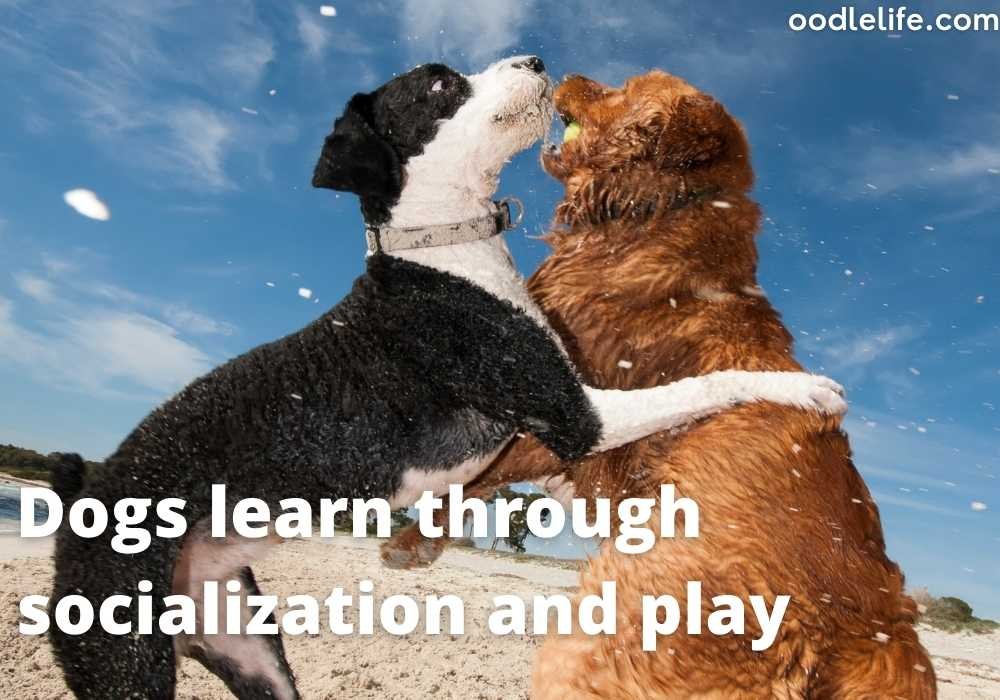 two dogs playing together and learning socialisation