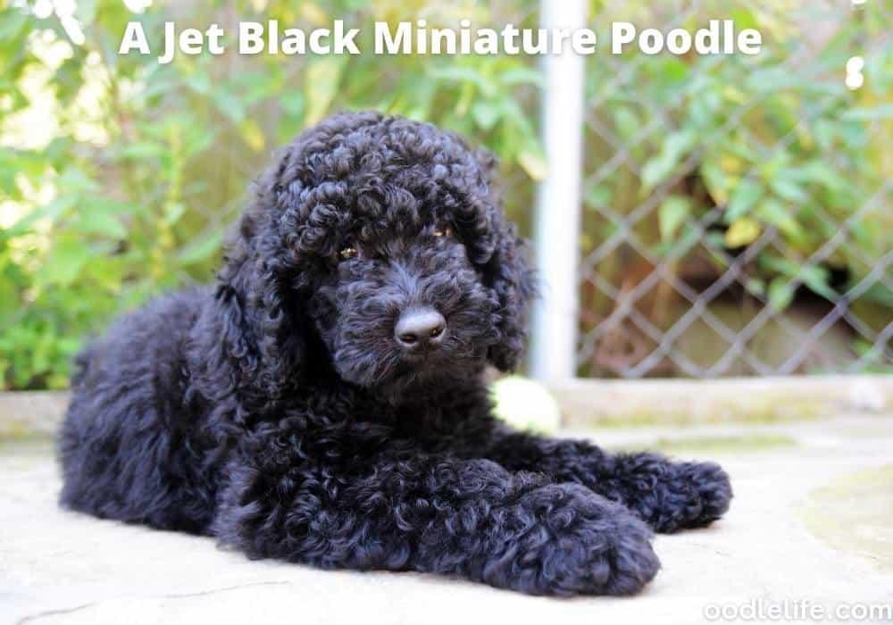 jet black mini poodle