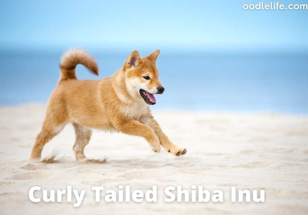 curly tailed shiba inu at the beach