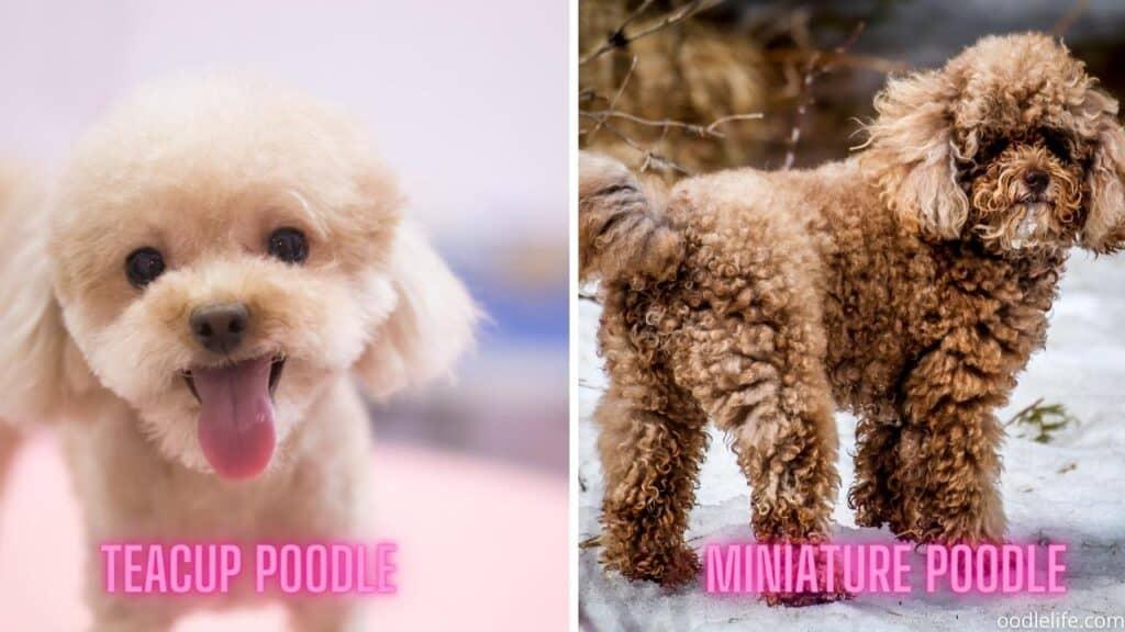 teacup vs mini poodle