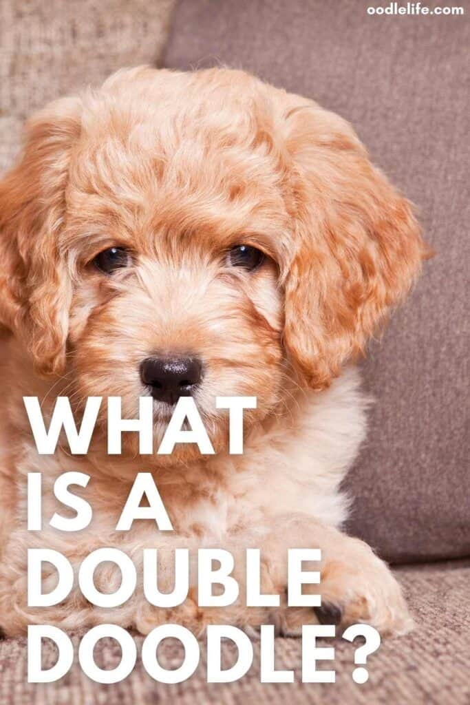 what is a double doodle