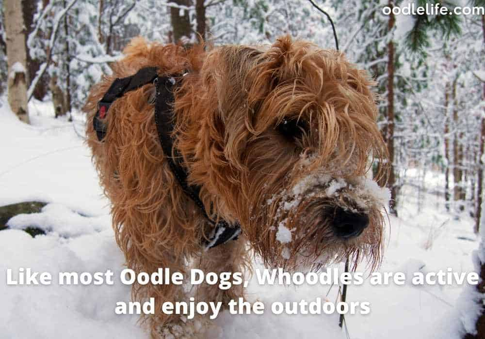 whoodle dog in snow