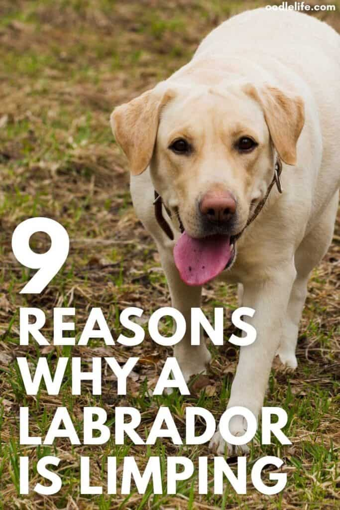 reasons why a Labrador is limping