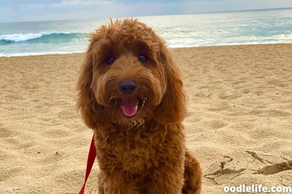 labradoodle puppy at beach