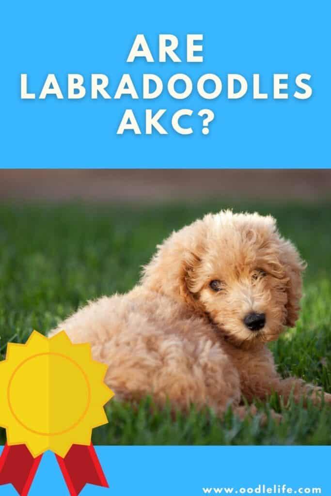 are labradoodles akc