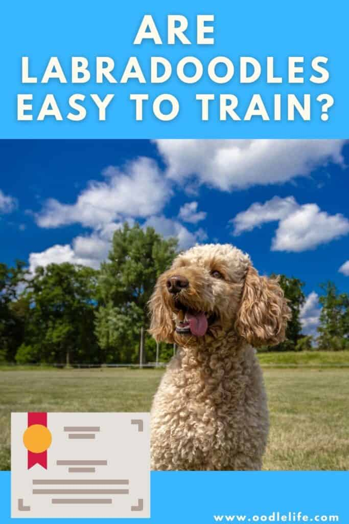 are labradoodles easy to train