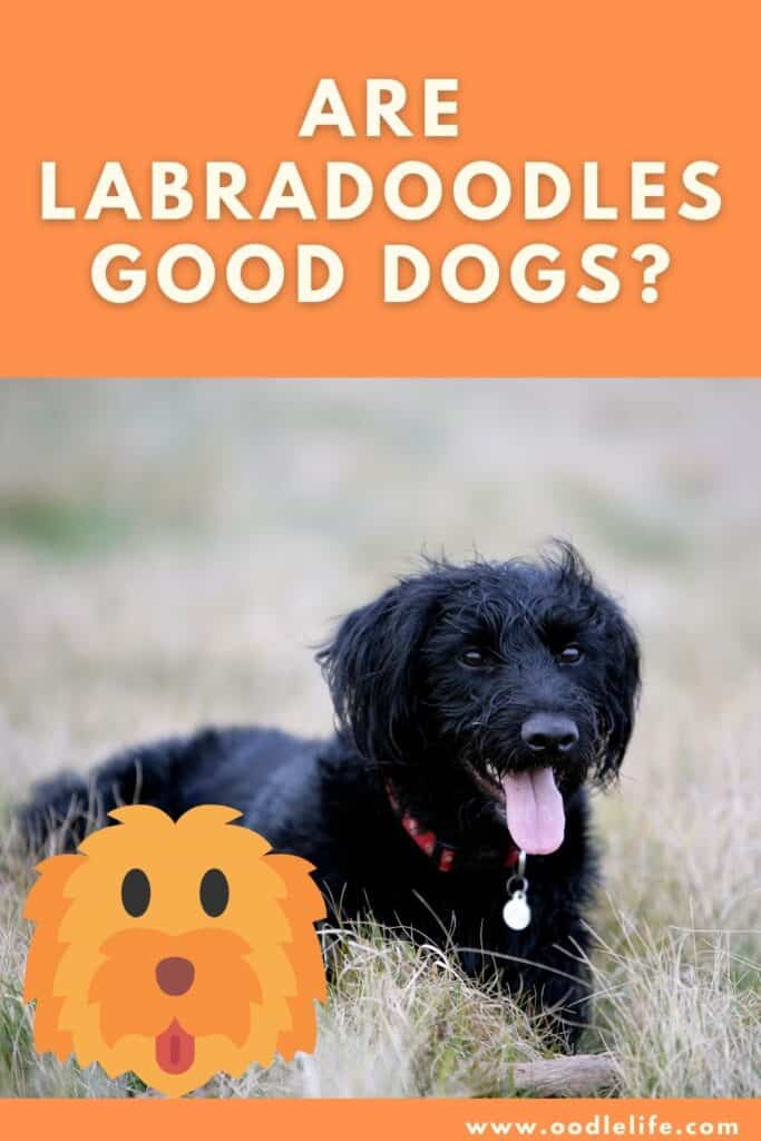 are labradoodles good dogs