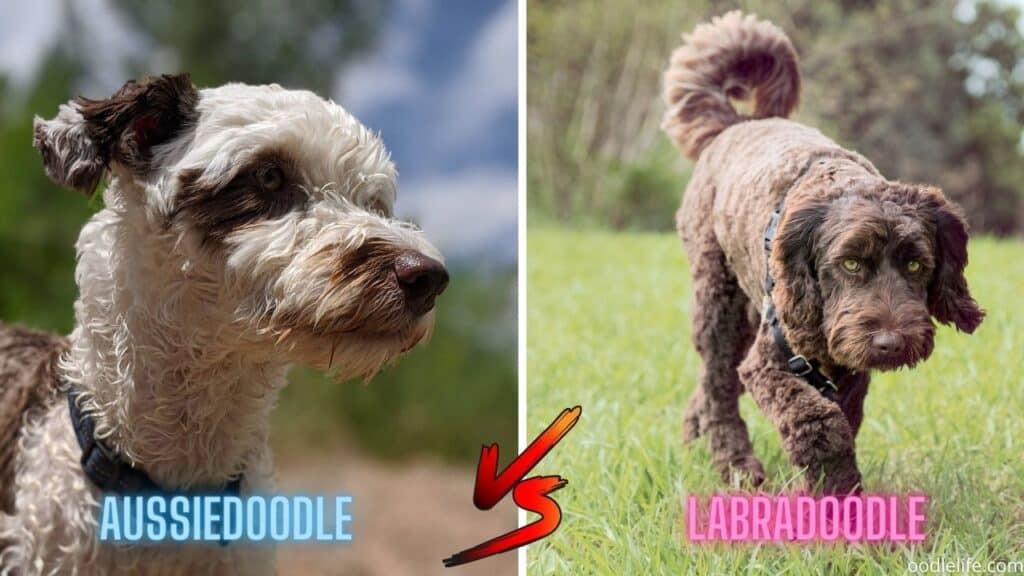 Labradoodle vs Aussiedoodle