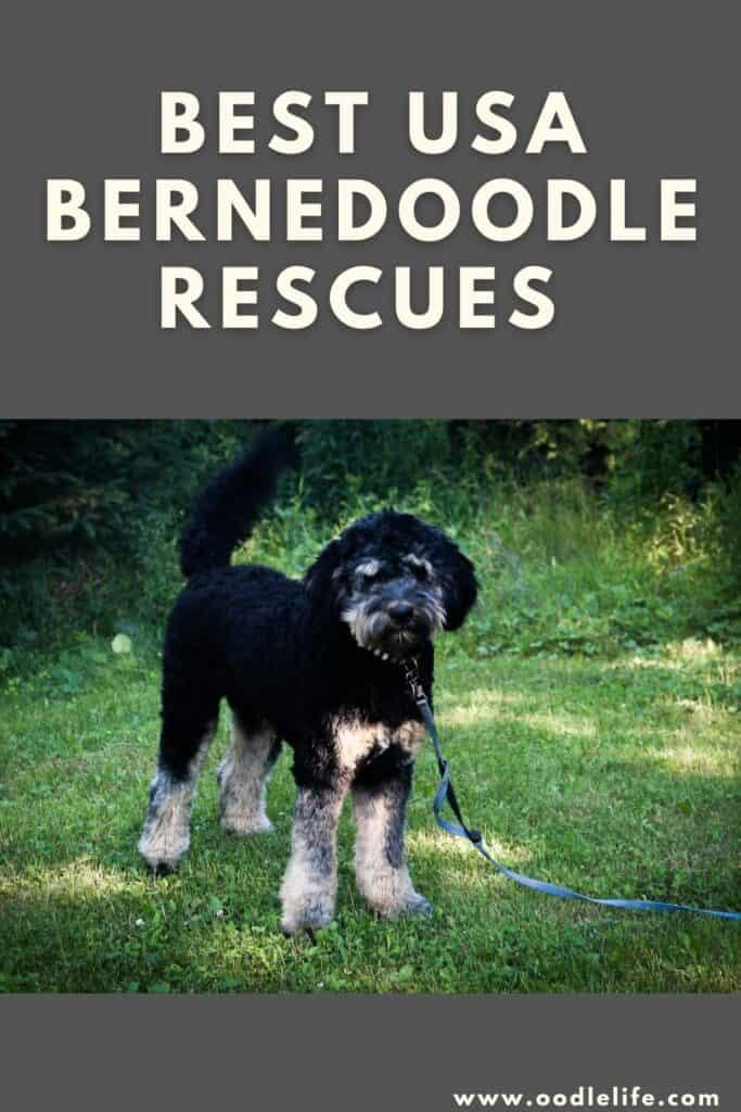 best bernedoodle rescues