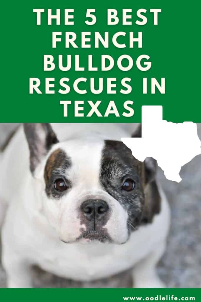 best french bulldog rescues in texas