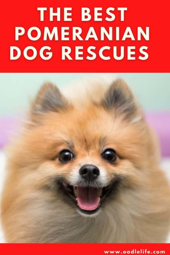 best pomeranian dog rescues